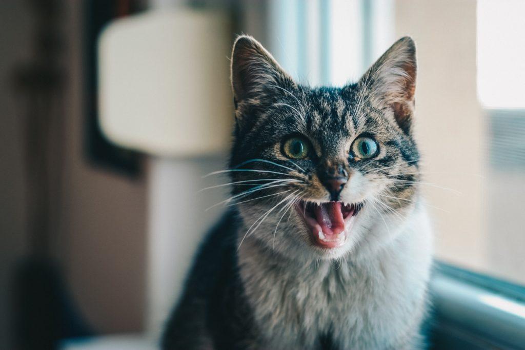 Ingår tandvård i försäkringen till din katt?