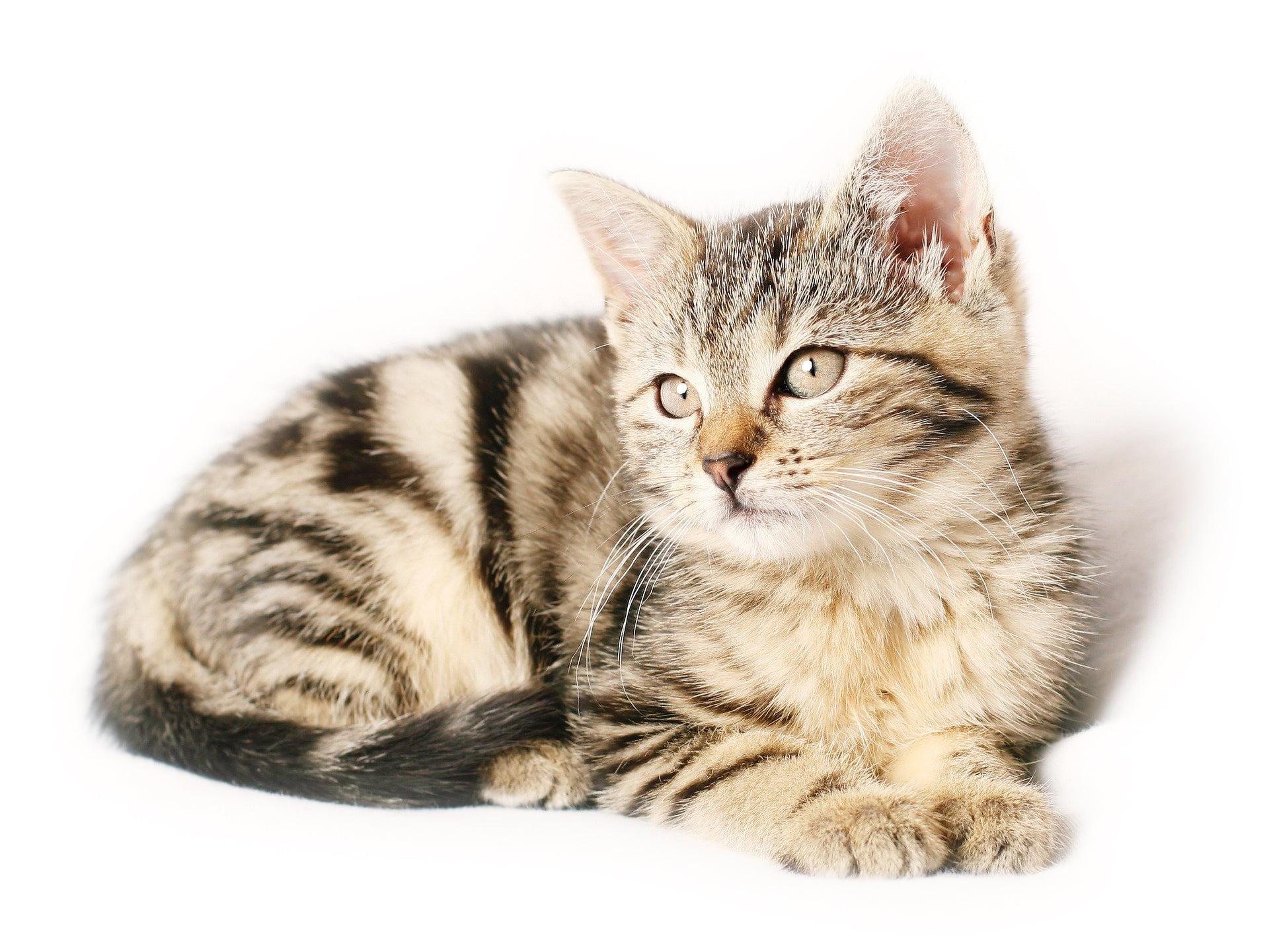 Varför behöver man försäkra katten?