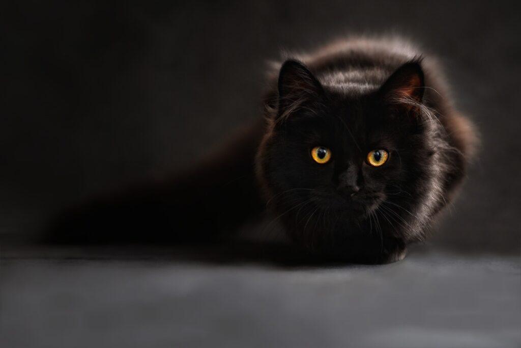 Katter kan smittas av Covid-19