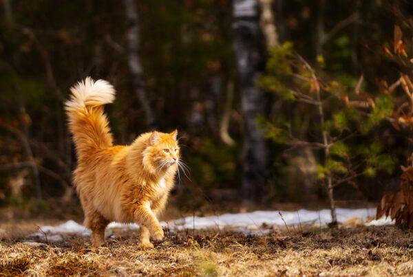 Spåra katten med GPS. Bästa GPS-halsband katt?